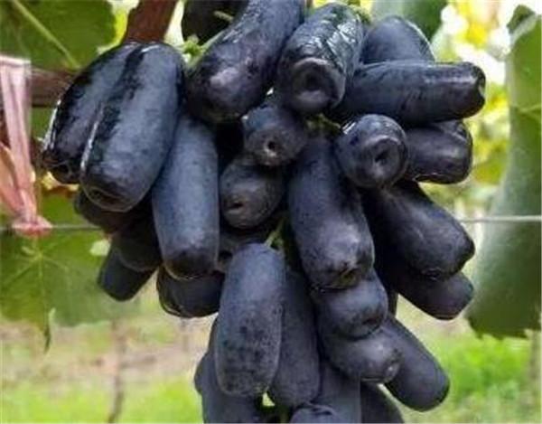 蓝宝石葡萄种植技术 蓝宝石葡萄苗鉴别真假