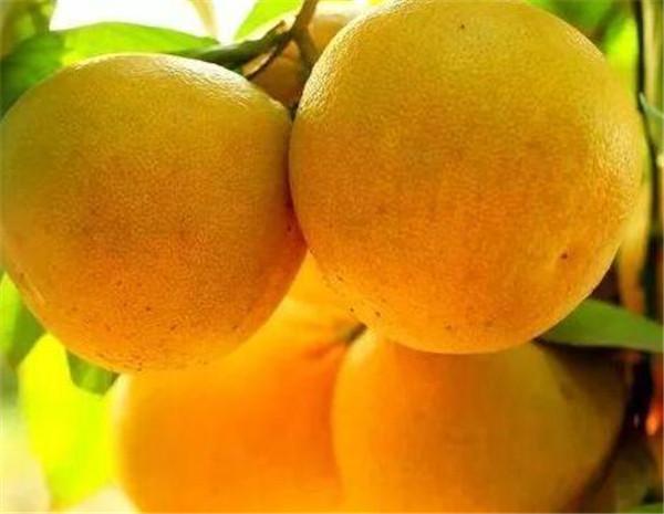 葡萄柚种植前景 种一亩柚子要投资多少钱