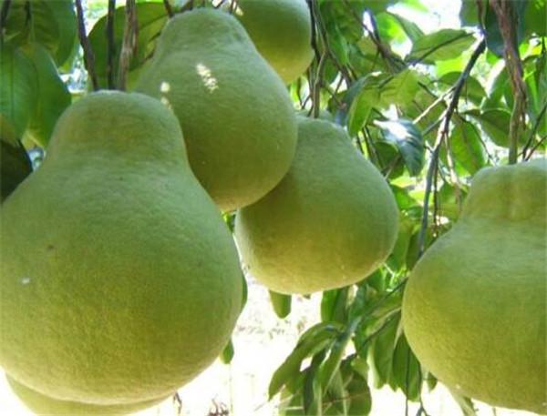 柚子的热量高不高 柚子减肥效果好么
