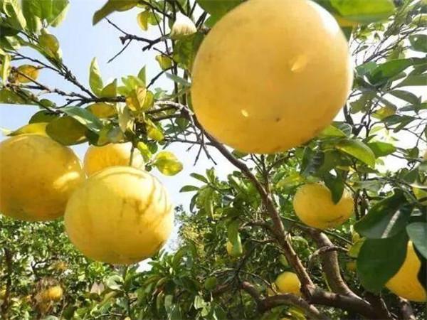 文旦和柚子的区别 柚子是凉性还是热性