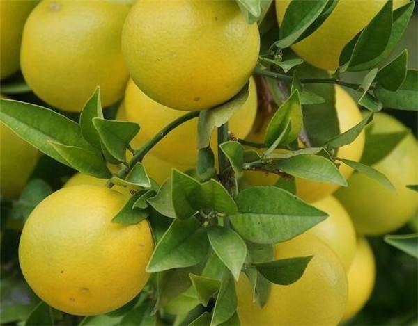 柚子树掉叶子是什么原因 柚子树的风水作用