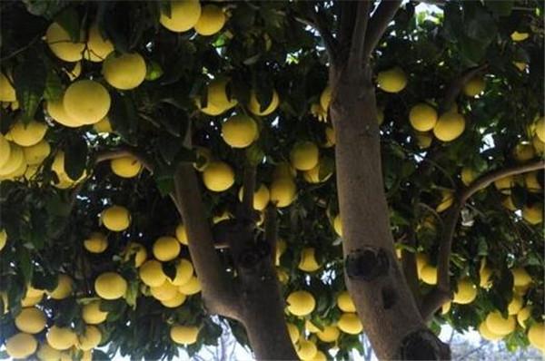 柚子树有刺吗 门前种柚子树的禁忌
