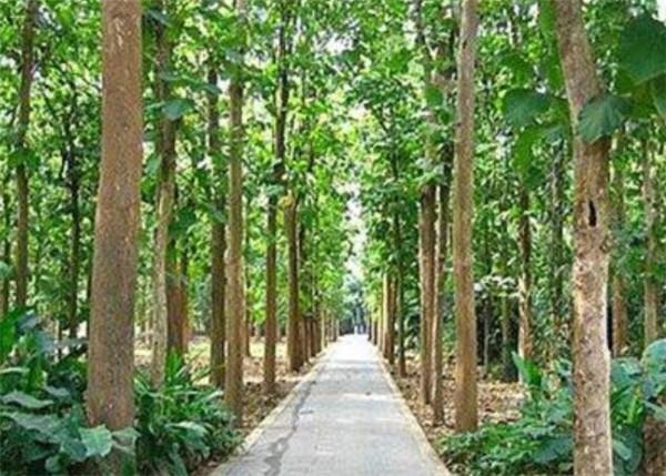 柚木树苗几天能发芽 柚木树种植方法