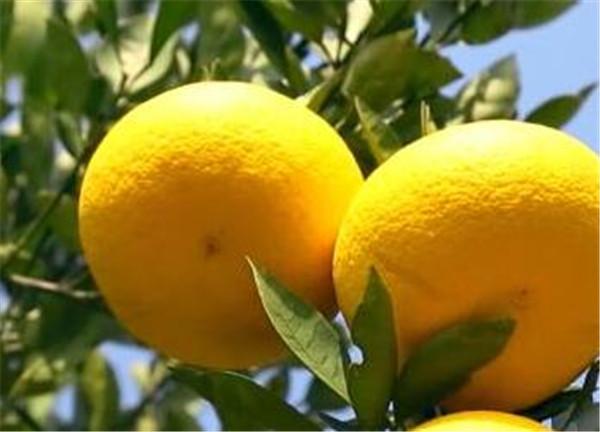胡柚什么时候成熟 胡柚和橙子的区别