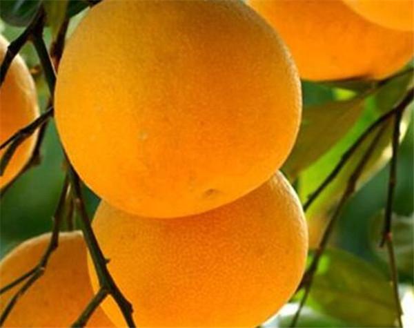 胡柚的热量高不高 胡柚对糖尿病有什么好处
