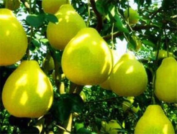 沙田柚产地是哪里 沙田柚哪里的最正宗