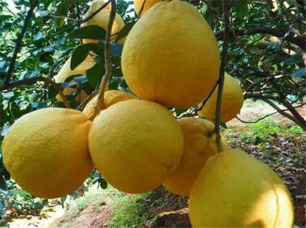 沙田柚种植技术和管理 沙田柚成熟时间