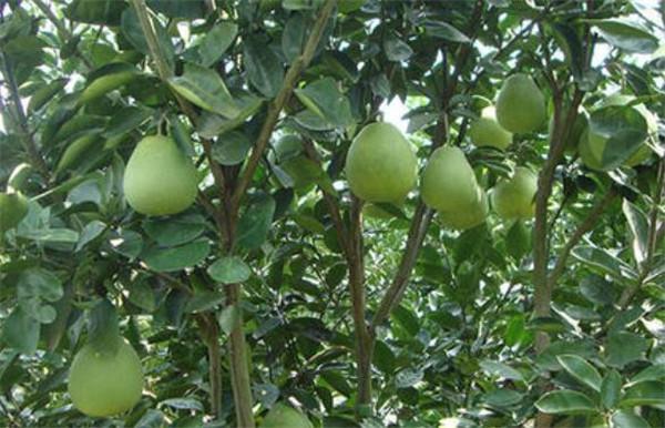 苦柚有什么功效与作用 苦柚子能吃吗有毒吗