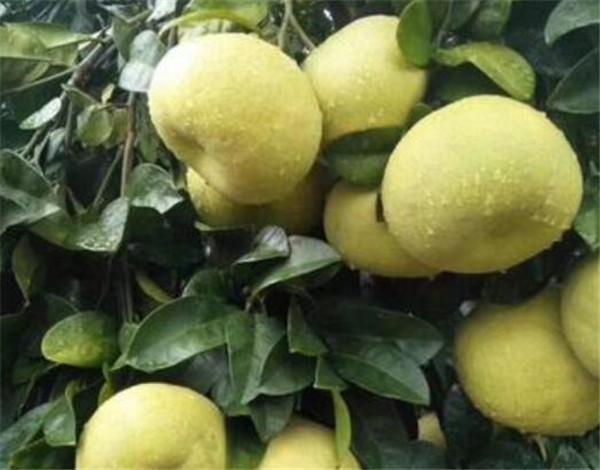 文旦柚和普通柚子有什么区别 文旦柚产地是哪里