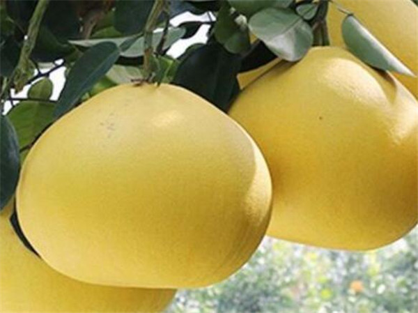 文旦柚为什么那么贵 文旦柚什么时候最好吃