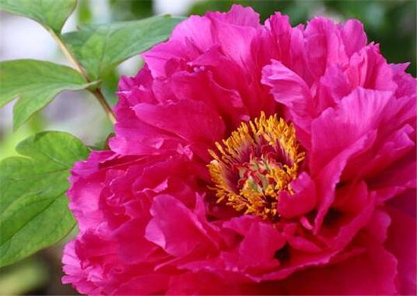 牡丹花花期什么时候开 牡丹花怎么栽培