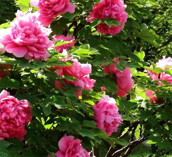 牡丹花怎么栽培 牡丹花种子能种出来吗