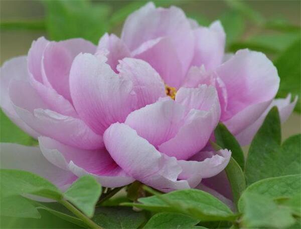 牡丹花的种植方法及养护 牡丹花种植技术