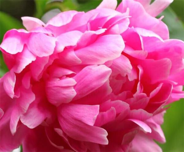 牡丹花卉品种有哪些 牡丹花有哪些用途