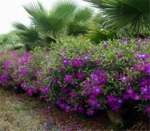 野牡丹的养殖方法和注意事项 野牡丹花期是几月份