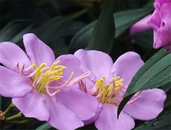 巴西野牡丹施什么肥 巴西野牡丹不开花是什么原因