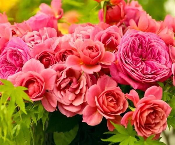 红牡丹花的寓意和花语 红牡丹花多少钱一棵