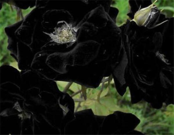 黑牡丹品种有哪些 黑色牡丹花的寓意和花语