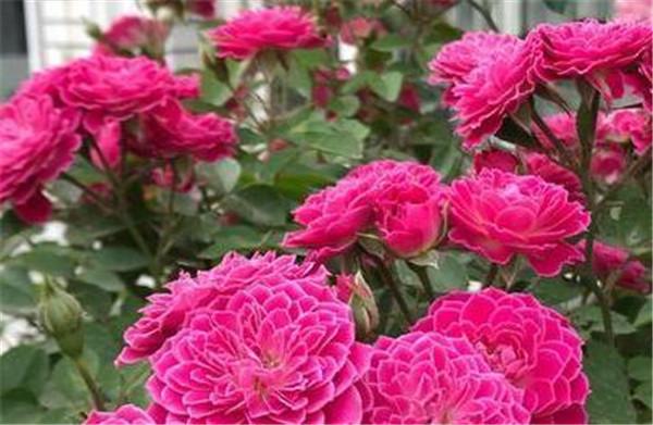 四季牡丹花是扶桑花吗 四季牡丹花一年开几次