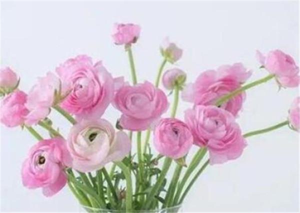 洋牡丹的花语和寓意 洋牡丹怎么插花瓶好看
