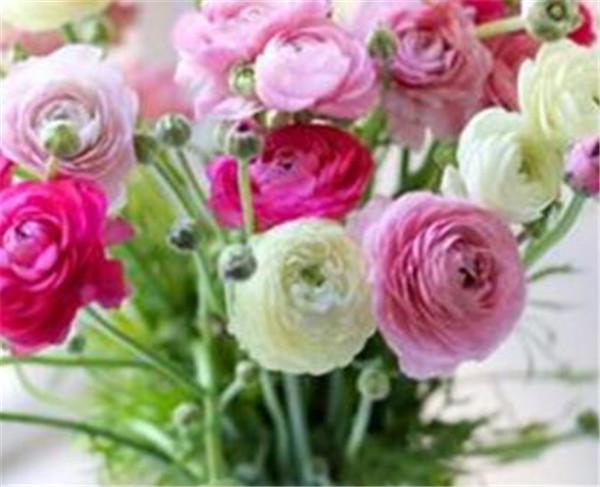 洋牡丹第二年还能开花吗 洋牡丹开完花怎么处理