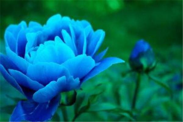 洛阳牡丹蓝色的叫什么牡丹 蓝色牡丹花寓意象征是什么
