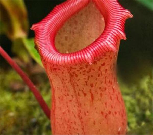 猪笼草怎么养才不会死 猪笼草怎么繁殖