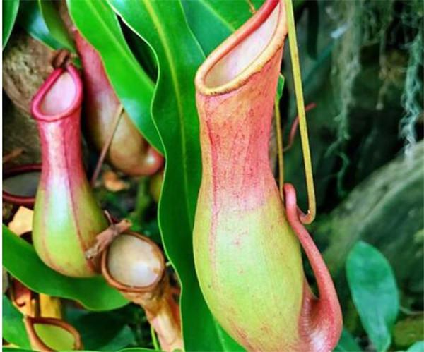 猪笼草怎么吃虫子的方法 猪笼草怎么消化虫子的