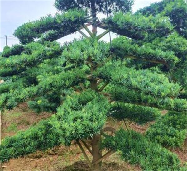 日本罗汉松和中国罗汉松的区别 日本罗汉松的风水意义