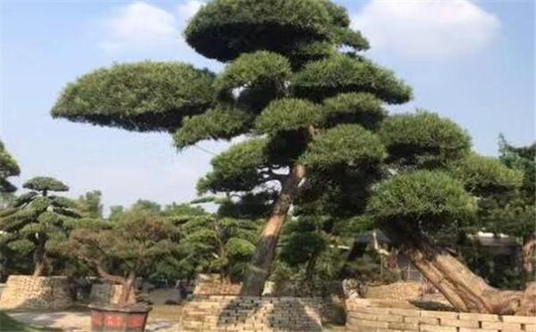 日本罗汉松一棵多少钱 日本罗汉松的养殖方法和注意事项