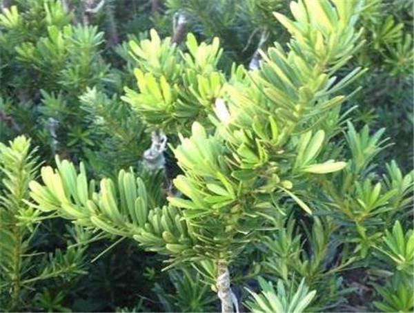 金钻罗汉松好养吗 罗汉松和榕树哪个好养