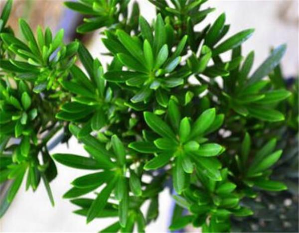 珍珠罗汉松有几个品种 珍珠罗汉松开花吗