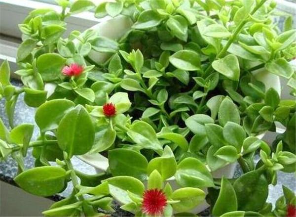 牡丹吊兰和田七的区别 牡丹吊兰怎么养才开花