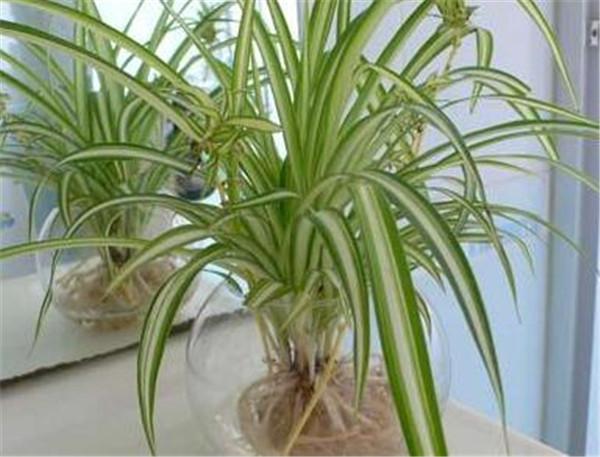 水培吊兰叶子发黄的原因以及解决方法 水培吊兰多久生根