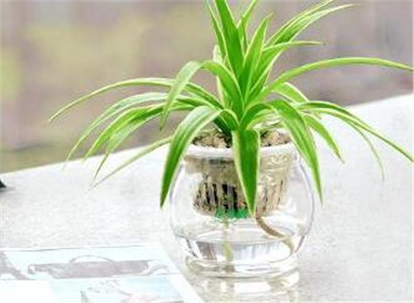 水培吊兰根系太多可以剪掉吗 吊兰怎样水培才能长得好