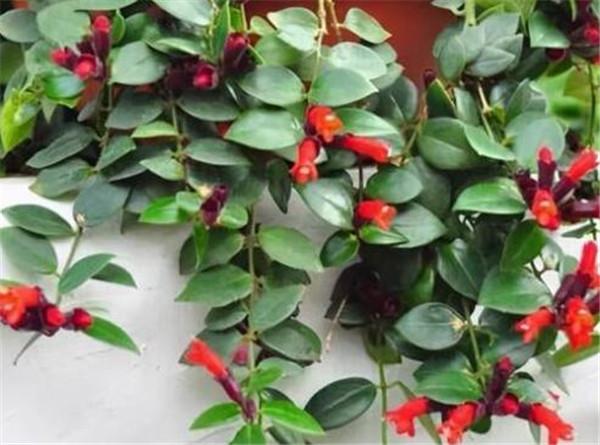 口红吊兰的繁殖方法 口红吊兰不开花怎么办
