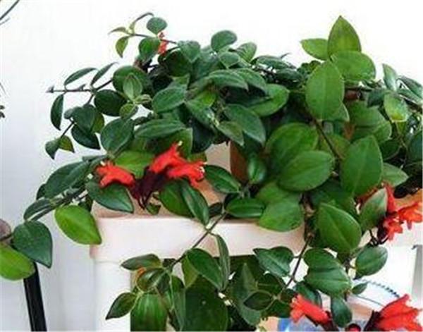 口红吊兰为什么掉叶子 口红吊兰怎么养护和栽培