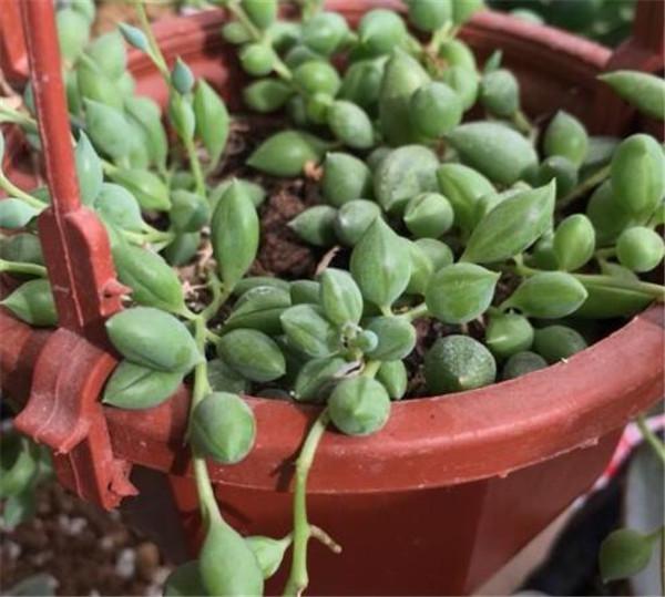 佛珠吊兰的养殖方法和注意事项 多肉佛珠为什么不能沾水