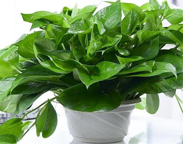 绿萝花语寓意象征 绿萝价格多少钱