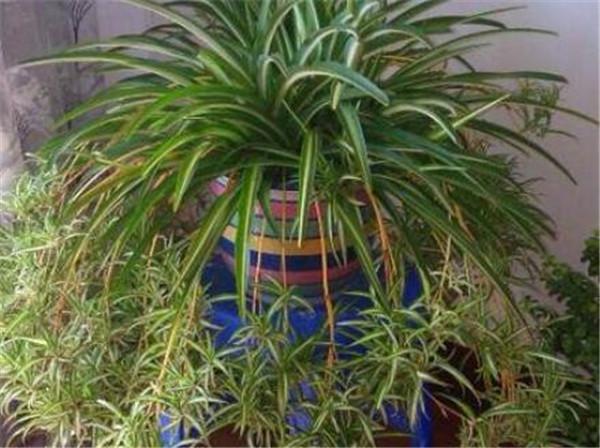 吊兰品种有哪些 吊兰的种类及图片大全