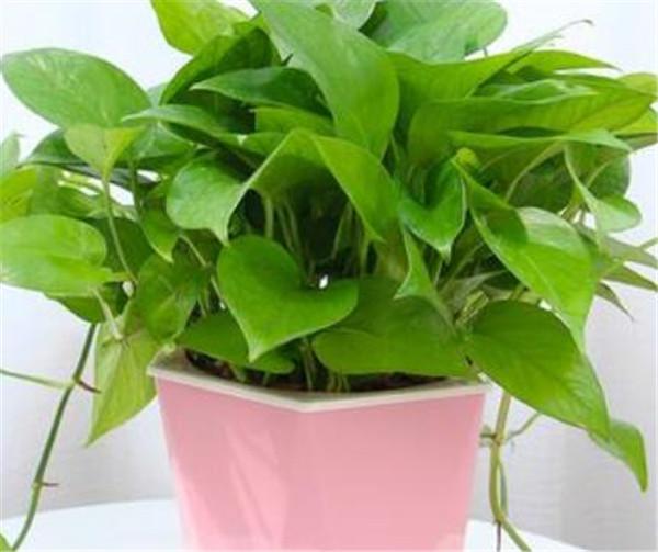 绿萝吊兰用什么肥料好 绿萝吊兰的叶子有毒吗