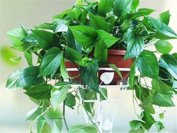 绿萝怎么养才能更旺盛 绿萝花的功效与作用
