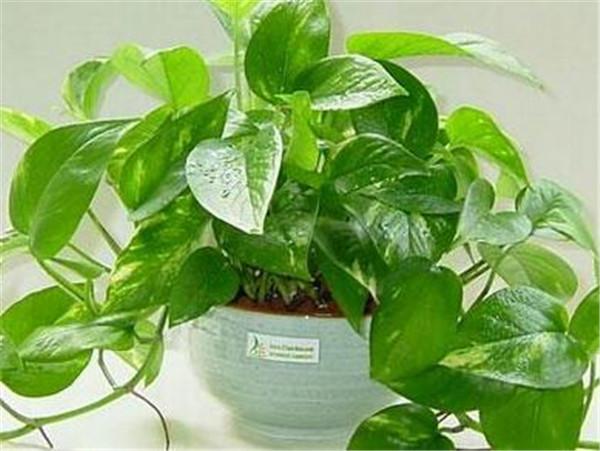 绿萝的养殖方法和注意事项 绿萝适合养在室内吗