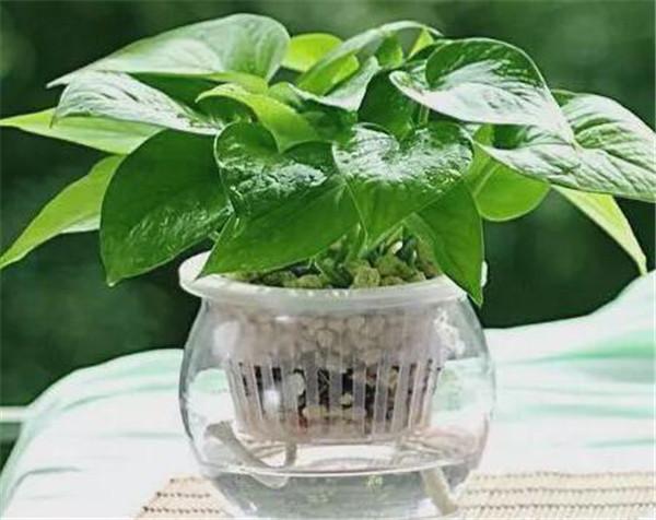 水培绿萝叶子发黄怎么办 水培绿萝多久换一次水