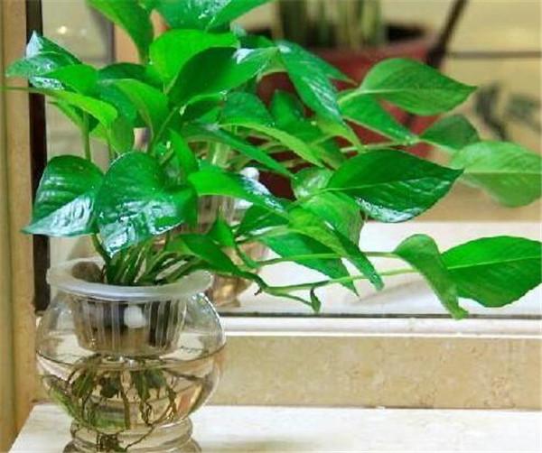 水培绿萝营养液自制方法 水培绿萝怎么转成土培