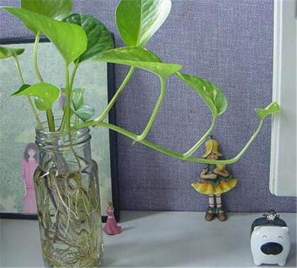 水培绿萝如何修剪根系 水培绿萝用什么瓶子好看