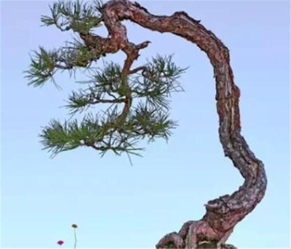 文人树用什么盆种好看 文人树怎么造型