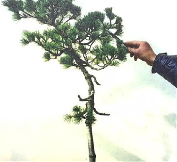 文人树一般多高合适 文人树的特点有哪些