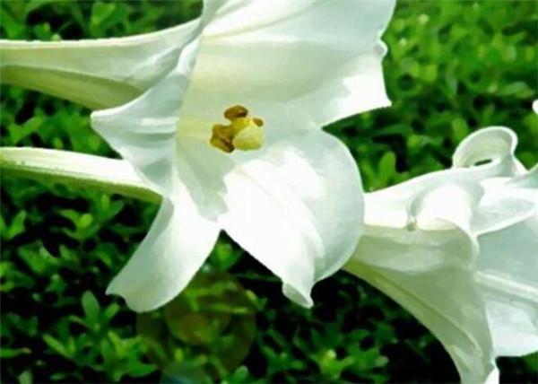 百合花盆栽可以放室内吗 百合花有毒吗