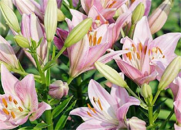 百合花的花语和寓意含义 百合花代表什么意思
